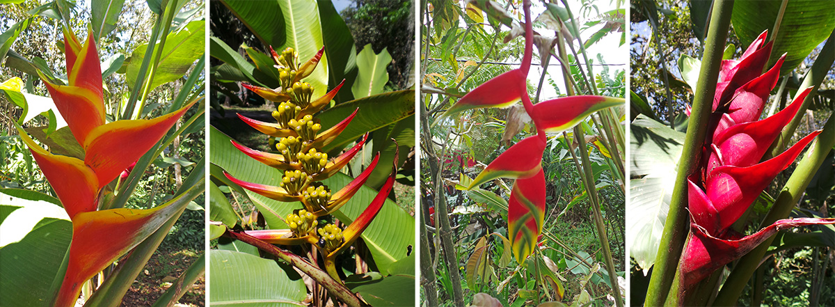 A variety of colorful heliconia inflorescences.