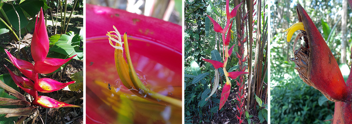 Erect pink-bracted heliconia inflorescence (L) and its small whitish flower inside one bract (LC). Pendant Heliconia longa (RC) and its small, very curved yellow flower (R).
