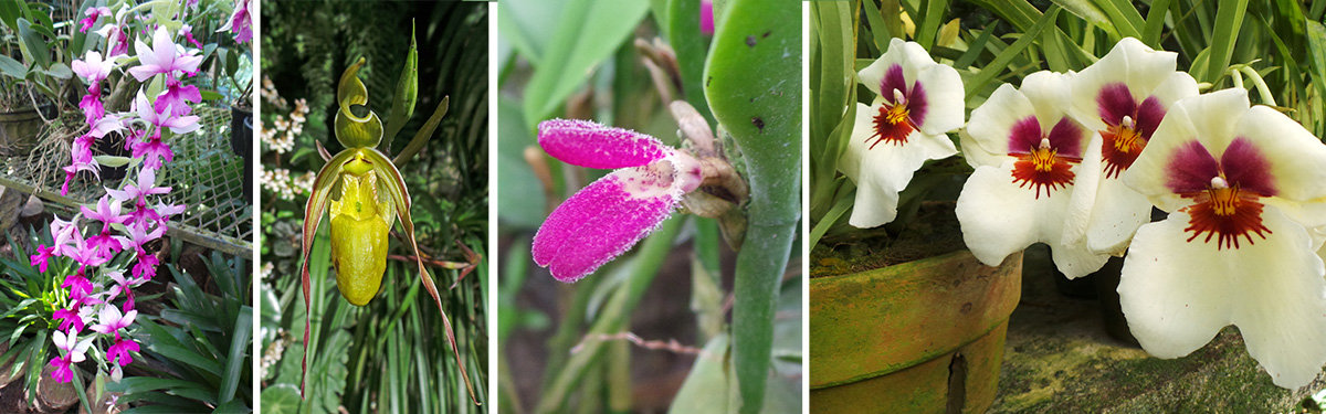 More orchids, including a miniature (RC) and Miltoniopsis (R).