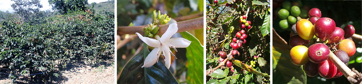 Coffee shrubs (L), a single flower, out of season (LC), fruits on the bushes (RC) and closeup of cluster of fruits or berries (R).