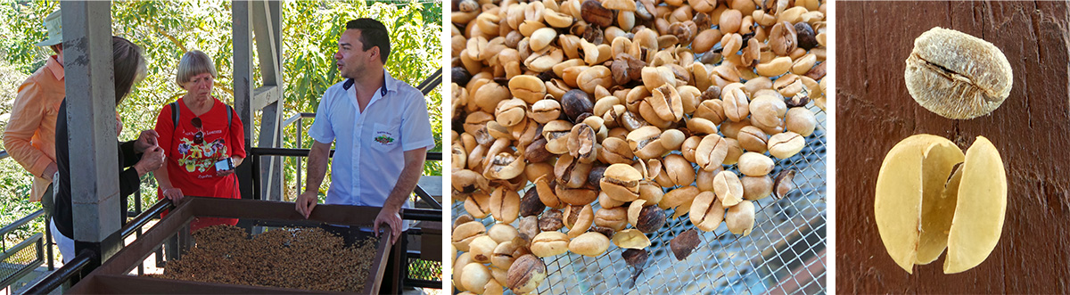 Ronnie tells Lori, Della and Barb about the drying process (L), coffee beans (C), and closeup of one bean with papery seed coat removed (R).