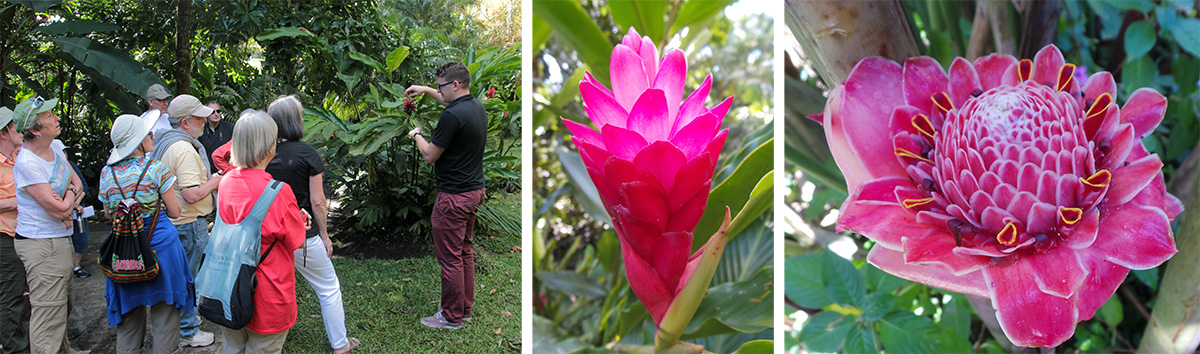 Guide Randal tells the group about red ginger (L), young inflorescence of red ginger (C), and torch ginger, Etlingera elatior (R).