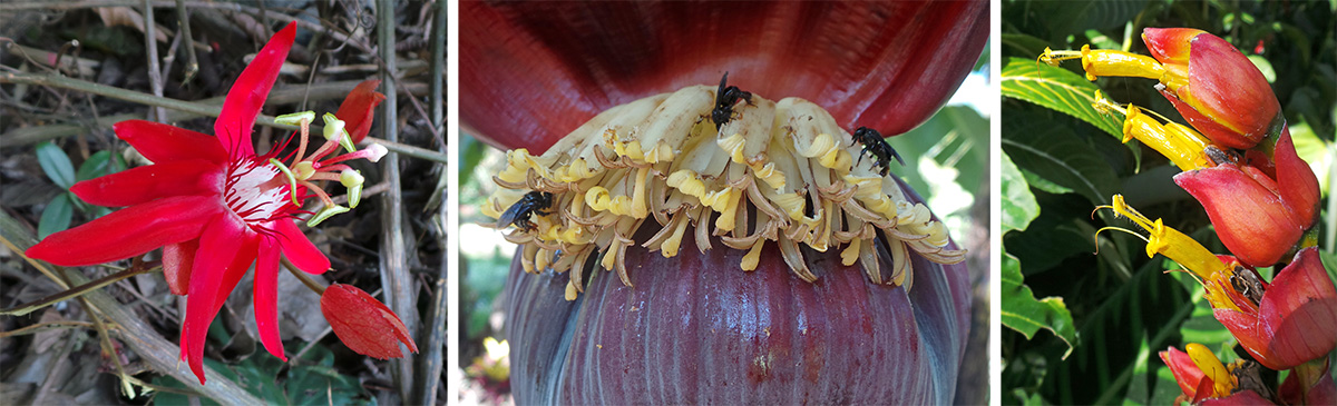 Flower of Passiflora vitifolia (L), bees visiting banana flowers (C), and inflorescence of Sanchezia sp. (R).