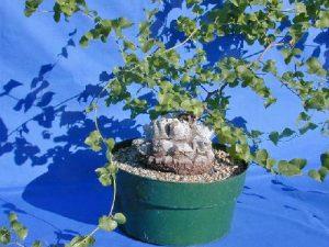 Dioscorea in cultivation.