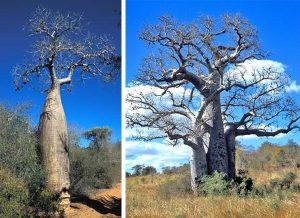 Madagascar baobabs Adansonia rubrostipa (L) and A. za (R).
