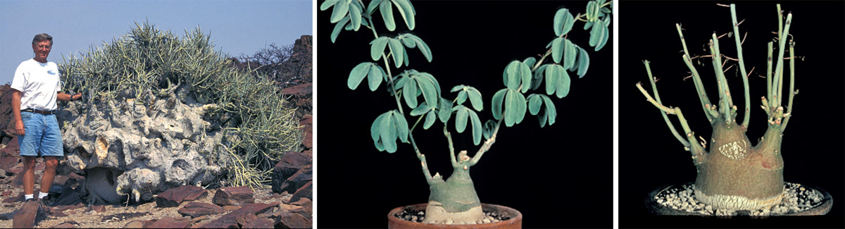 The author with Adenia pechuelii in habitat in Namibia (L), and A. glauca (C) and A. spinosa (R) in cultivation.