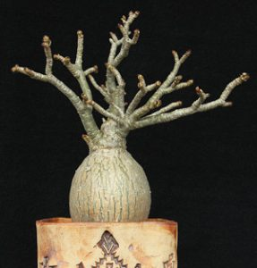 Adenium crispum as a container plant (the round caudex, part of the root, would be under ground in nature).