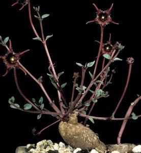 Brachystelma pygmaeum