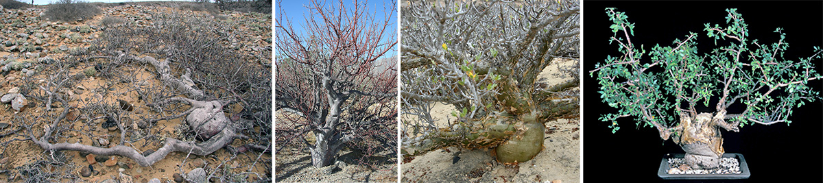 Wind-stunted Bursera hindsiana (L) and upright specimen with smooth grey bark (LC), B. odorata with peeling green bark (RC) in habitat in Mexico, and B. fagaroides in cultivation (R).