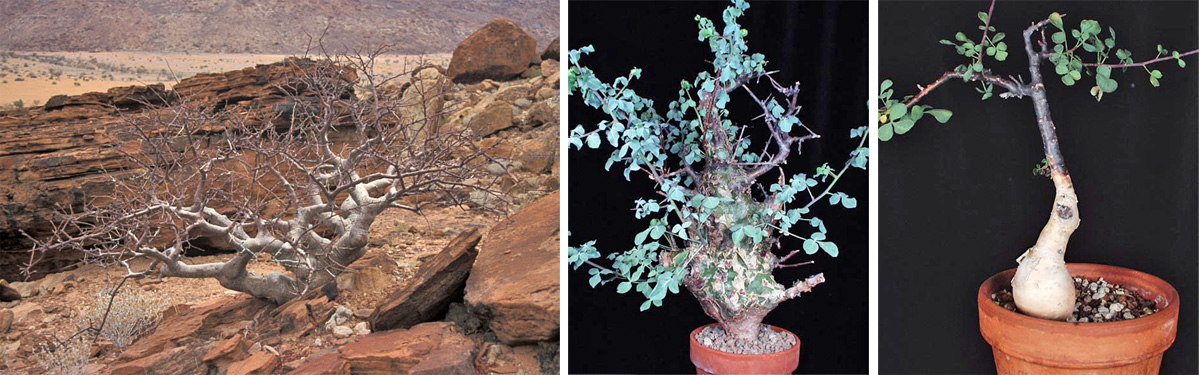 Commiphora wildii in habitat in Namibia (L), and C. campestris (C) and C. kataf (R) in cultivation.