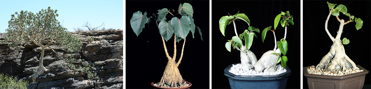 Mexican rock fig, Ficus petiolaris, in habitat (L) and in cultivation (LC); F. petiolaris palmeri (RC) in cultivation; African species Ficus abutilifolia in cultivation (R).