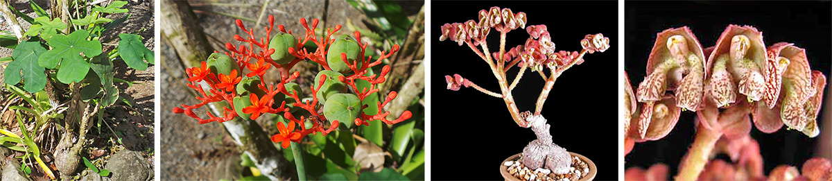Jatropha podagrica plant (L) and flowers and fruit (LC) and Monadenium plant in cultivation (RC) and flowers (R).