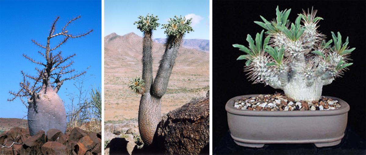 Pachypodium lealii (L) in Namibia, and P. namaquanum in habitat (C) and grown in a bonsai pot (R).