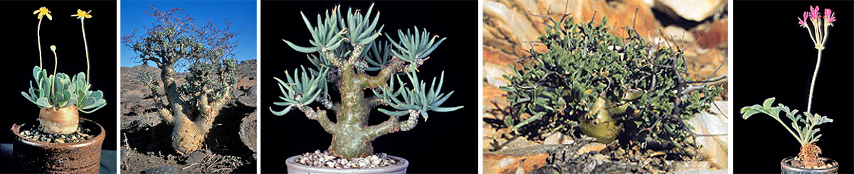 Othonna cacalioides in cultivation (L); Tylecodon paniculata in habitat in the Richtersveld of South Africa (LC) and T. pearsonii in cultivation (C); Pelargonium crithmifolium in habitat in South Africa and P. incrassatum in cultivation (R).