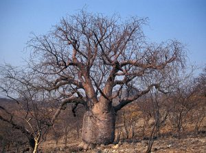 """The African baobab is one of many """"fat plants""""."""