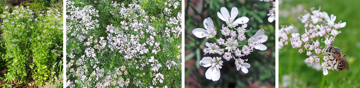 Cilantro plants in flower (L and LC), closeup of one umbel of flowers (RC) that are attractive to insects (R).