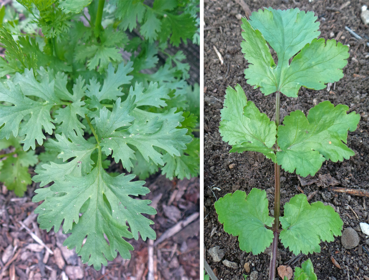 The leaves, which may have deeply cut (L) or entire (R) margins, can be picked any time the plants are large enough.
