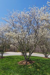 Serviceberry amalanchier spp master gardener program princess diana apple serviceberry altavistaventures Gallery
