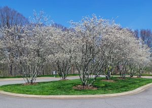 Serviceberry amalanchier spp master gardener program serviceberry amalanchier spp thecheapjerseys Image collections