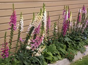Frequent foxglove, Digitalis purpurea – Grasp Gardener Program