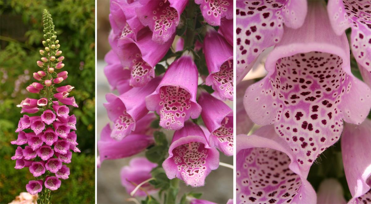 Common Foxglove Digitalis Purpurea Master Gardener Program
