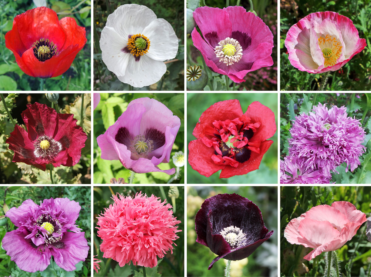 Breadseed Or Opium Poppy Papaver Somniferum Master Gardener Program
