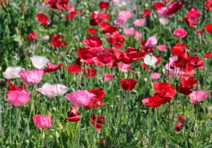 Breadseed or opium poppy, Papaver somniferum – Grasp Gardener Program