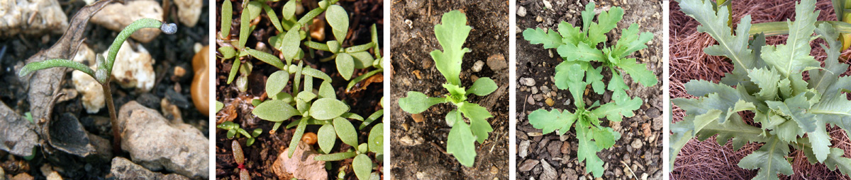Breadseed Or Opium Poppy Papaver Somniferum Master