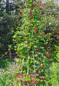 Cardinal Climber, Ipomoea sloteri – Grasp Gardener Program
