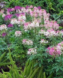 Spider flower, Cleome hassleriana – Grasp Gardener Program