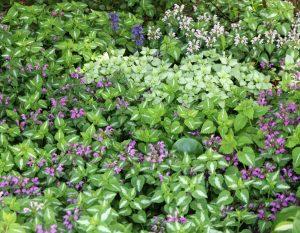 Noticed deadnettle, Lamium maculatum – Grasp Gardener Program