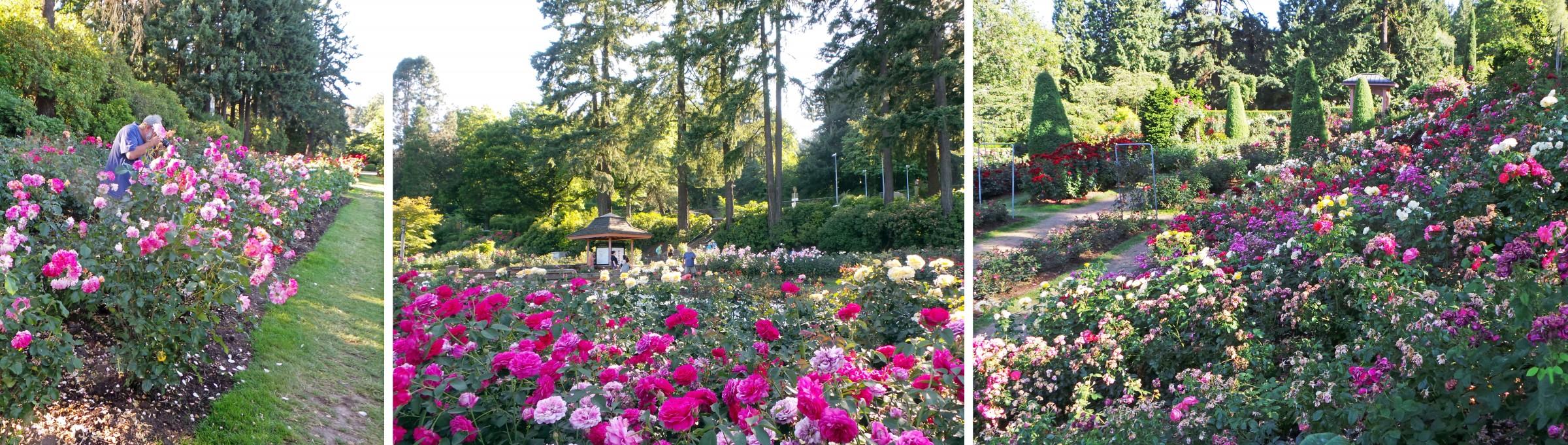 some of the 10000 rose bushes in the international rose test garden portland japanese garden - Portland Rose Garden