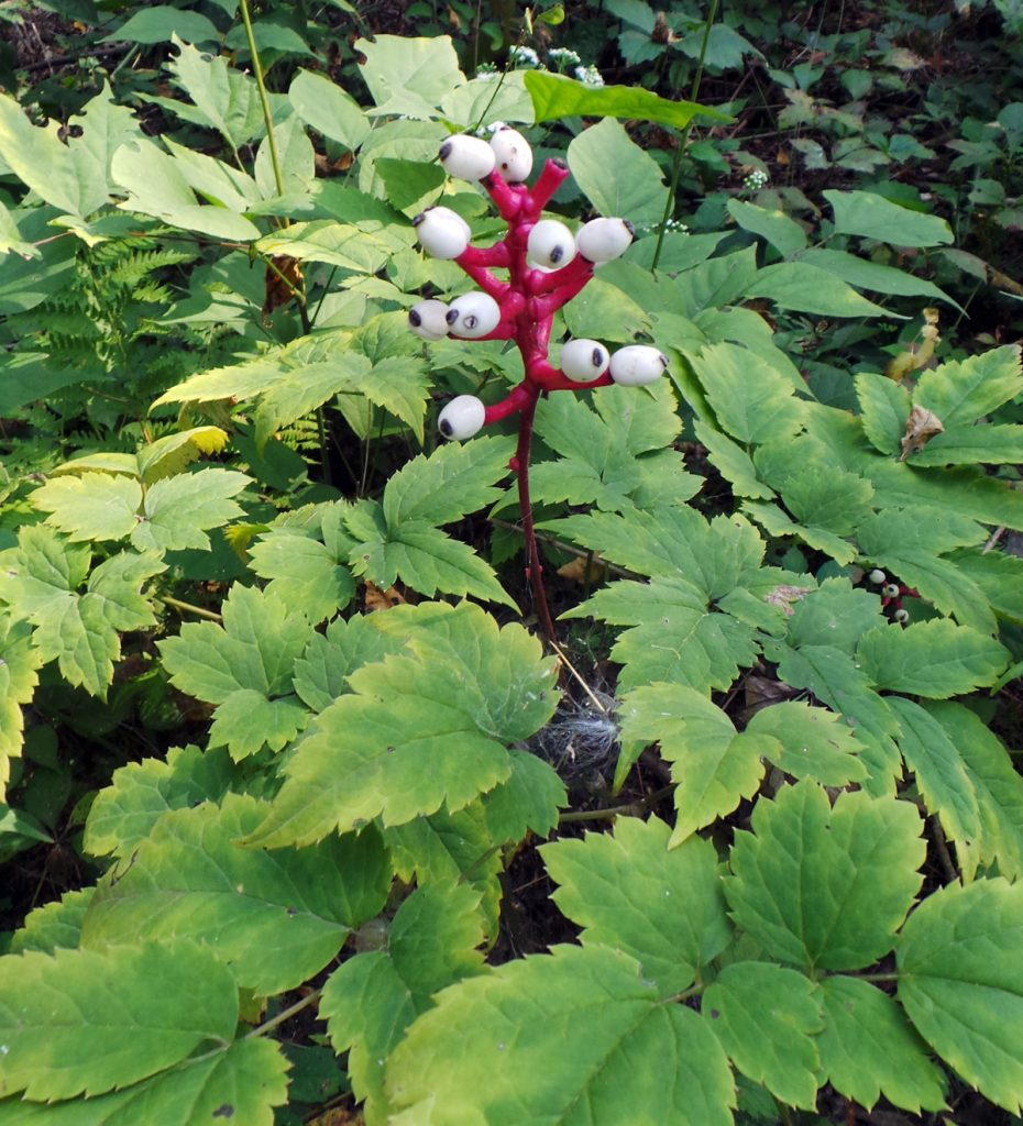 Baneberry, Actaea spp. – Grasp Gardener Program