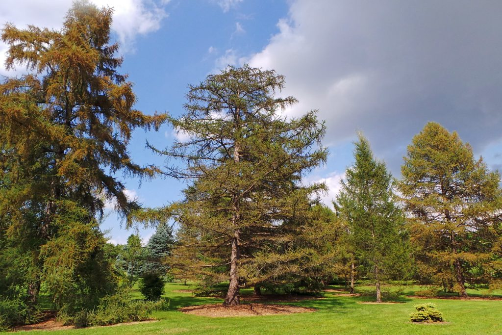 European Larch, Larix decidua – Grasp Gardener Program