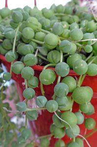 String of Pearls, Senecio rowleyanus – Grasp Gardener Program