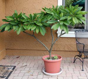 Plumeria Master Gardener Program