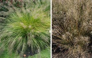 Prairie Dropseed Sporobolus Heterolepis Master Gardener