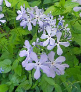 Woodland Phlox Phlox Divaricata Master Gardener Program