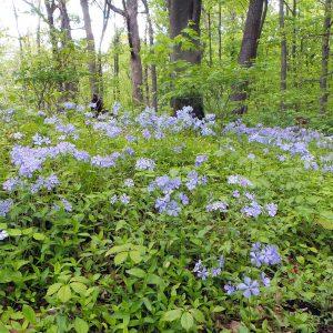 Woodland Phlox, Phlox divaricata – Grasp Gardener Program