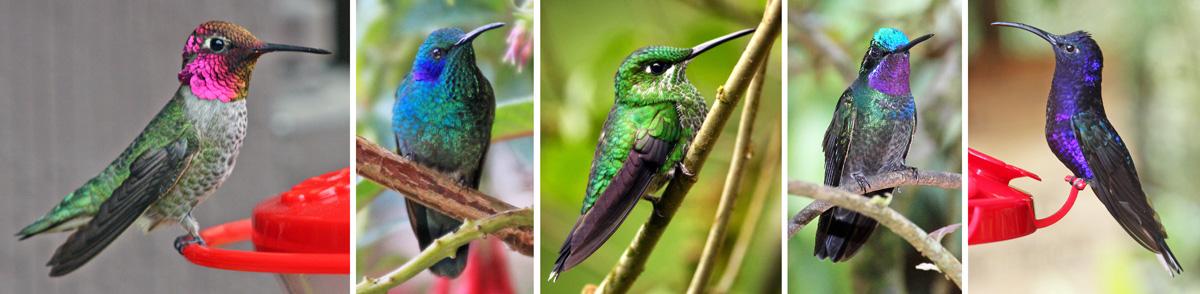 Male Anna S Hummingbird El Cajon California L All Others In Costa Rica Green Violet Eared Lc Crowned Brilliant C