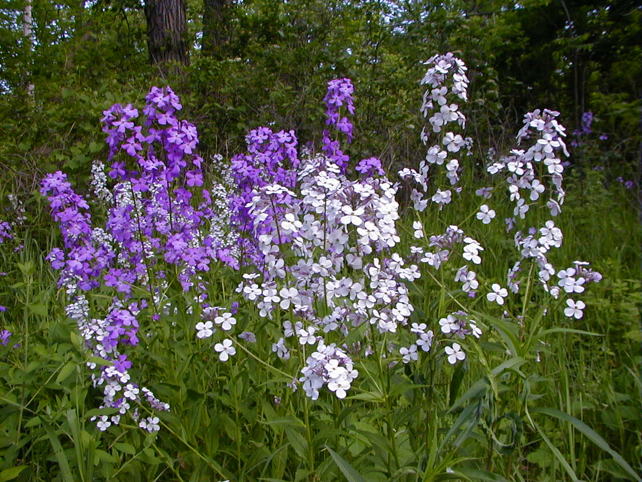 Dame's rocket is an example of an invasive plant commonly found in Wisconsin.