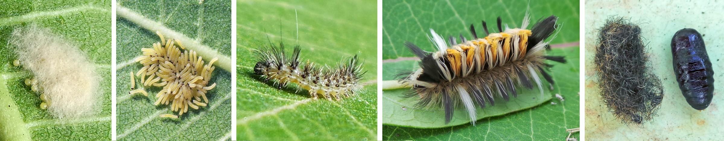 Common Milkweed Insects – Master Gardener Program