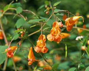 Jewelweed impatiens capensis master gardener program - What does it mean to be a master gardener ...