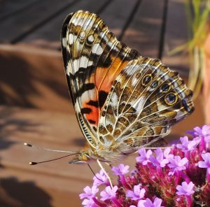 Painted Lady Butterfly, Vanessa cardui – Master Gardener Program