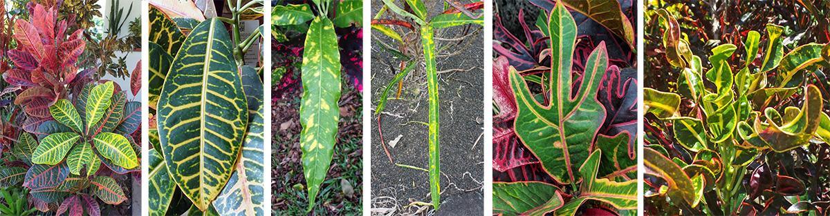 Croton, Codiaeum variegatum – Master Gardener Program on 8 leaf house plant, 3 leaf outdoor plant, 5 leaf house plant, 3 leaf plant identification,