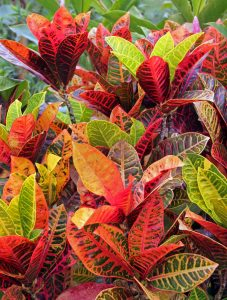 Croton, Codiaeum variegatum – Master Gardener Program on peppers red, animals red, ornamental grasses red, orchids red, berries red, cactus red, pots red, design red, nature red, mums red, flowers red,
