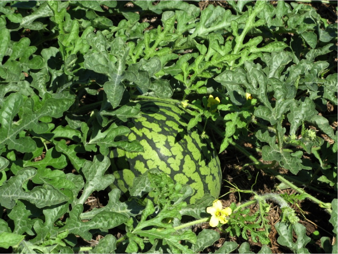 Watermelons are an example of vine crops